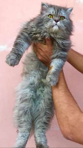 Persian male triple coated