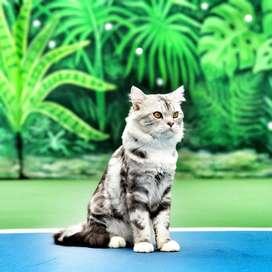 Kucing persia abu abu (Jantan)
