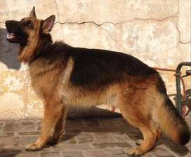 13 months male Black & Tan GSD with all the important features.