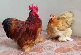 Ayam Bantam Chocin (China)