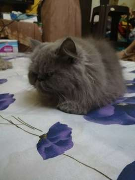 Persian Extreme Punch Face Cat