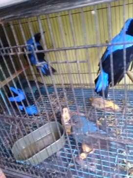 Burung Cucak Biru