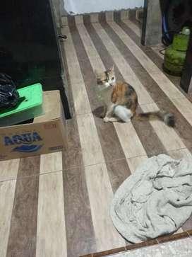 kucing angora calico