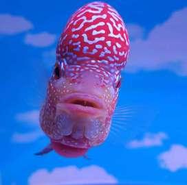 Ikan louhan king kamfa V8 harga promo
