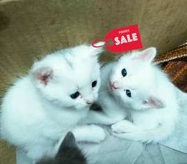 White Persian kittens (both genders available)