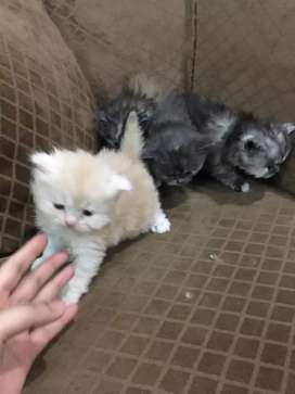 Punch Face Tripple Coat Kittens for Sale