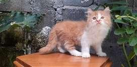 kucing persia medium betina bicolor orange lucu