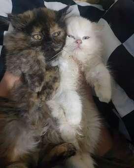 kucing persia flat nose / nego tipis