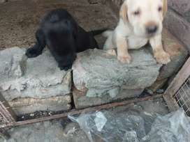 Pair of Labrador puppies for sale healthy and active pair