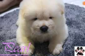 Chow - Chow Puppy