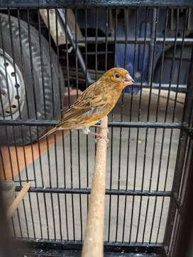 Burung kenari + sangkar