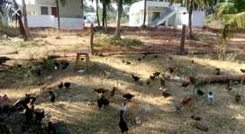 Agri land need for rent