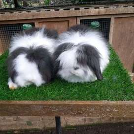 Kelinci hias fuzzy lop