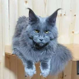 Call NCR cash on delivery Persian cat for sale