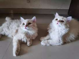PURE BREED PERSIAN KITTENS MALE/FEMALE