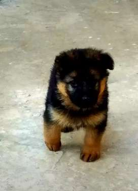 German shepherd long coat pups
