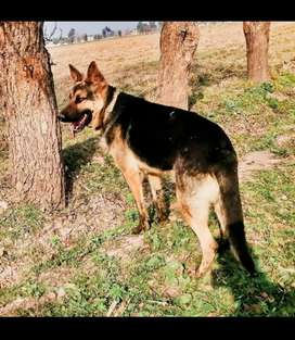 German shepherd single coat male.
