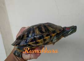 Kura kura brazil res koleksi