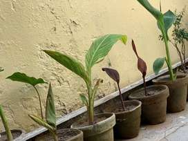 Canna plants are available for sale kayli plant
