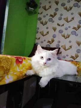 Male persian cat for mating