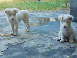 Russian puppies