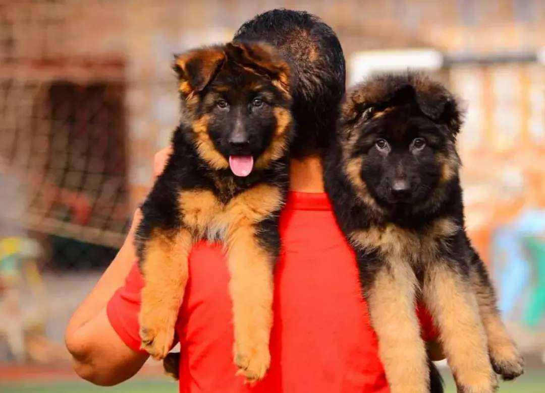 the extra most beautiful gsd puppy's available for sale imported pnts