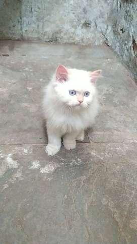 Pure pershion cat heavy bone