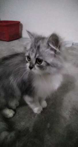 Gray persian kitten