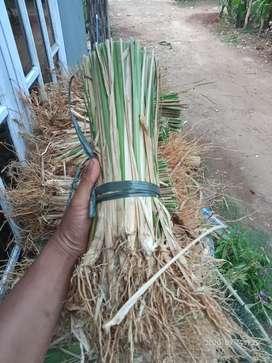 Rumput Vetiver Murah Untuk Tebing Rawan Longsor
