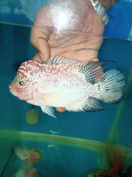 VIP Grade Kamfa F2 Flowerhorn for sale at an affordable price