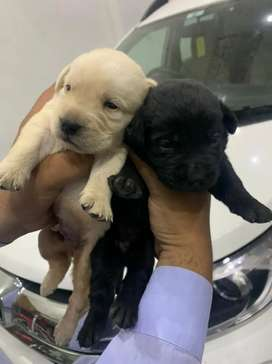 If you wish to have some premium Labrador puppies here is the chance
