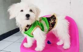 Anjing Maltese Betina Snow White - Vaksin & Stambum