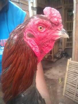 Ayam jago Siap Laga Trah Chu ShamoKhoy Pukul Super Metal Petarung
