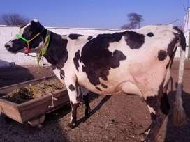 Fresion cow with 17kg milk