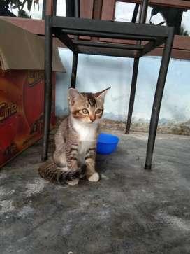 Kucing persia mix kampung