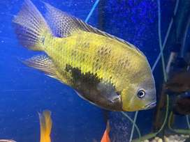 Fully grown pantano cichlid for sale