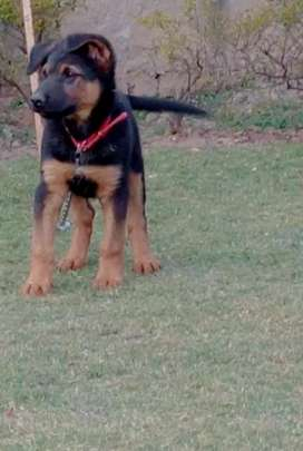 GSD male pup for sale