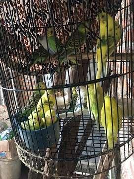 Burung parkit hijau dan warna