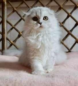 Kucing Scottish fold import