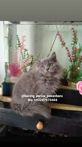 Anakan kucing Persia jantan bulu super gembul dan panjang