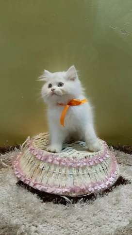 White Persian cat and kittens sale