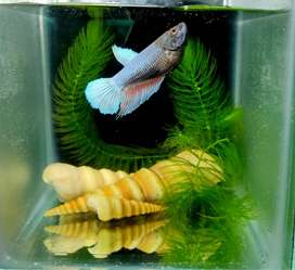 Platinum Blue Female Betta/Fighter fish ready for Breeding is for sale