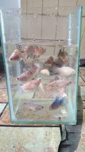 Ikan Hias Air Tawar Dan cupang