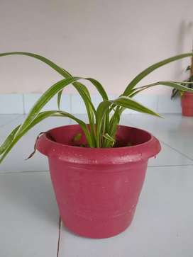 Spider plant with pot