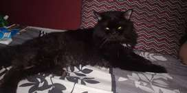 Black Male Persian Triple Coat