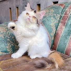 Kucing persia peaknose cantik