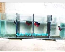 Ikan Cupang HM / Slayer Aquarium