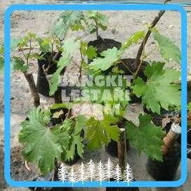 JUAL Pohon Anggur Merah Garansi