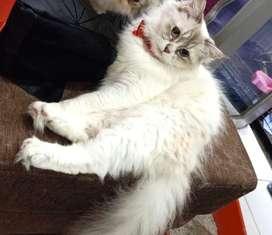 Kucing himalaya betina