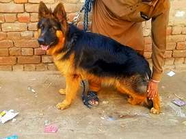 Long Haired Male Pedigree 11 month old German Shepherd